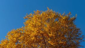 Δέντρα φθινοπώρου με τα κιτρινίζοντας φύλλα ενάντια στον ουρανό απόθεμα βίντεο
