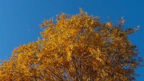 Δέντρα φθινοπώρου με τα κιτρινίζοντας φύλλα ενάντια στον ουρανό φιλμ μικρού μήκους