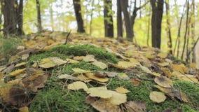 Δέντρα φθινοπώρου με τα πεσμένα ξηρά φύλλα απόθεμα βίντεο