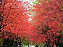 Δέντρα φθινοπώρου με τα φωτεινά πορτοκαλιά φύλλα Στοκ Εικόνες