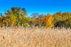 Δέντρα φθινοπώρου με τους καλάμους Στοκ Φωτογραφία