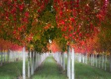 Δέντρα φθινοπώρου στις σειρές Στοκ εικόνα με δικαίωμα ελεύθερης χρήσης
