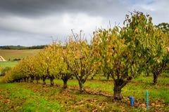 Δέντρα φθινοπώρου στον οπωρώνα Στοκ εικόνα με δικαίωμα ελεύθερης χρήσης