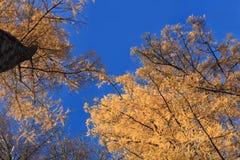 δέντρα φθινοπώρου Στοκ Εικόνα
