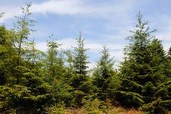 δέντρα φύσης Χριστουγέννων Στοκ Εικόνες