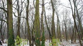 Δέντρα χειμερινού χιονιού, οδική προοπτική πάρκων, άσπρες σειρές δέντρων αλεών Στοκ Φωτογραφία