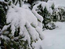 Δέντρα χειμερινών πεύκων και νέο χιόνι Στοκ εικόνα με δικαίωμα ελεύθερης χρήσης