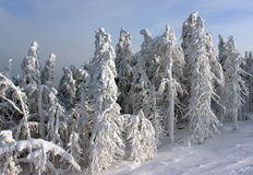 Δέντρα χιονιού στον ήλιο Στοκ εικόνα με δικαίωμα ελεύθερης χρήσης