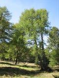 δέντρα Στοκ εικόνες με δικαίωμα ελεύθερης χρήσης