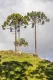 Δέντρα angustifolia αροκαριών Στοκ φωτογραφία με δικαίωμα ελεύθερης χρήσης
