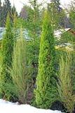 Δέντρα Arborvitae και κυπαρισσιών το χειμώνα Στοκ Φωτογραφίες