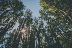 Δέντρα Arrayan Στοκ Φωτογραφίες