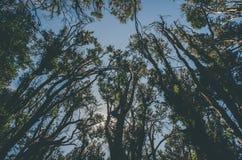 Δέντρα Arrayan Στοκ φωτογραφία με δικαίωμα ελεύθερης χρήσης
