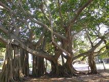 Δέντρα Banyan Στοκ Εικόνες