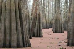 Δέντρα Cypres στοκ εικόνα με δικαίωμα ελεύθερης χρήσης
