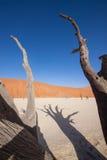 Δέντρα Deadvlei Στοκ φωτογραφίες με δικαίωμα ελεύθερης χρήσης
