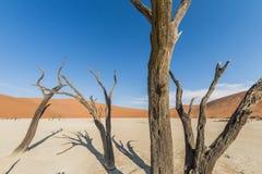 Δέντρα Deadvlei Στοκ Εικόνες