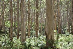 Δέντρα Forrest Boranup Στοκ Φωτογραφία