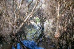 Δέντρα Melaleuca στη λίμνη Herdsman Στοκ Εικόνες