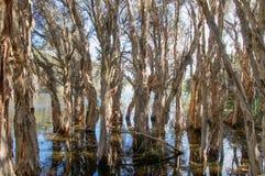 Δέντρα Melaleuca Στοκ Φωτογραφίες