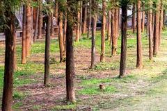Δέντρα Metasequoia στοκ φωτογραφίες