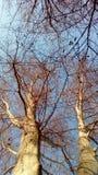 Δέντρα Osuncated Στοκ εικόνες με δικαίωμα ελεύθερης χρήσης