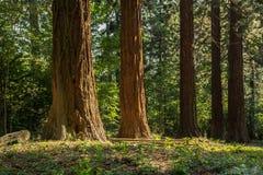 Δέντρα Redwood Στοκ φωτογραφίες με δικαίωμα ελεύθερης χρήσης