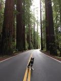 Δέντρα Redwood Στοκ εικόνα με δικαίωμα ελεύθερης χρήσης