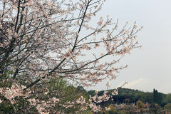 Δέντρα Sakura στο tianzhushan βουνό Στοκ Εικόνες