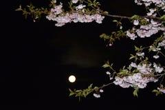Δέντρα Sakura τη νύχτα Στοκ εικόνα με δικαίωμα ελεύθερης χρήσης