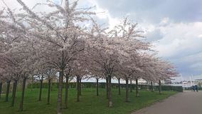 Δέντρα Sakura Στοκ φωτογραφίες με δικαίωμα ελεύθερης χρήσης