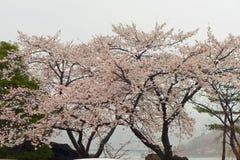 Δέντρα Sakura Στοκ εικόνες με δικαίωμα ελεύθερης χρήσης