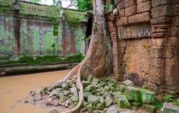 Δέντρα TA Prohm, Angkor Wat Στοκ Φωτογραφία
