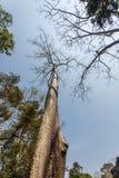 Δέντρα & x28 Thung  Tetrameles nudiflora& x29 , Ο ναός TA Prohm, Angkor Thom, Siem συγκεντρώνει, Καμπότζη Στοκ φωτογραφία με δικαίωμα ελεύθερης χρήσης