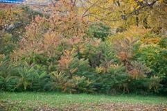 Δέντρα typhina Rhus Staghorn sumac στο πάρκο φθινοπώρου Στοκ Εικόνα