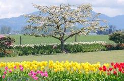 δέντρο άνθισης μήλων Στοκ εικόνες με δικαίωμα ελεύθερης χρήσης