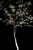 Δέντρο άνθισης στο μαύρο υπόβαθρο Στοκ εικόνες με δικαίωμα ελεύθερης χρήσης