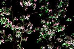 Δέντρο άνθισης στο μαύρο υπόβαθρο Στοκ Εικόνα