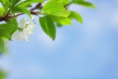 Δέντρο άνοιξη ανθών της Apple Στοκ Εικόνες