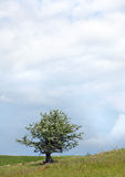 δέντρο άνοιξη κραταίγου στοκ φωτογραφίες με δικαίωμα ελεύθερης χρήσης