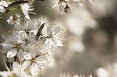 Δέντρο άνοιξη με τα άσπρα λουλούδια Στοκ φωτογραφία με δικαίωμα ελεύθερης χρήσης