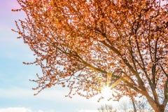 Δέντρο άνοιξη με το ρόδινο άνθος αμυγδάλων λουλουδιών σε έναν κλάδο στο πράσινο υπόβαθρο, στον ουρανό ηλιοβασιλέματος με το φως α Στοκ Εικόνες