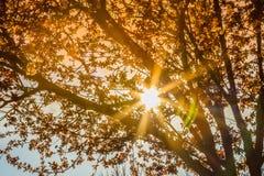 Δέντρο άνοιξη με το ρόδινο άνθος αμυγδάλων λουλουδιών σε έναν κλάδο στο πράσινο υπόβαθρο, στον ουρανό ηλιοβασιλέματος με το φως α Στοκ Φωτογραφίες