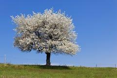 δέντρο άνοιξη Στοκ Φωτογραφία