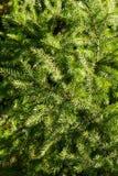 δέντρο έλατου ανασκόπηση&sig Στοκ Εικόνες
