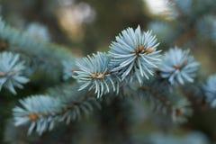 δέντρο έλατου κλάδων Στοκ Φωτογραφίες