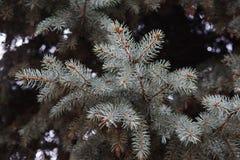 δέντρο έλατου κλάδων Στοκ Εικόνες