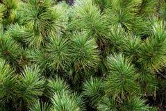 δέντρο έλατου κλάδων Στοκ Εικόνα
