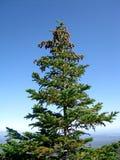 δέντρο έλατου κώνων στοκ φωτογραφία