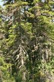 δέντρο έλατου Στοκ εικόνες με δικαίωμα ελεύθερης χρήσης